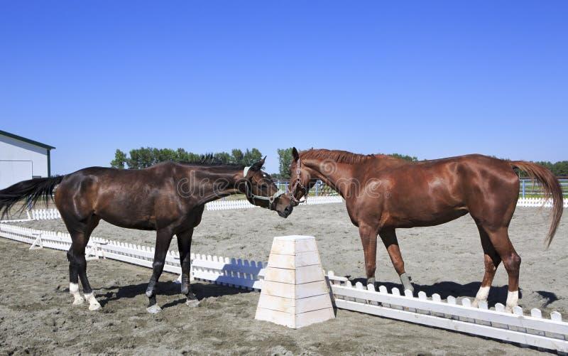 美丽的母马被熟悉的栗子和红色衣服 免版税库存照片