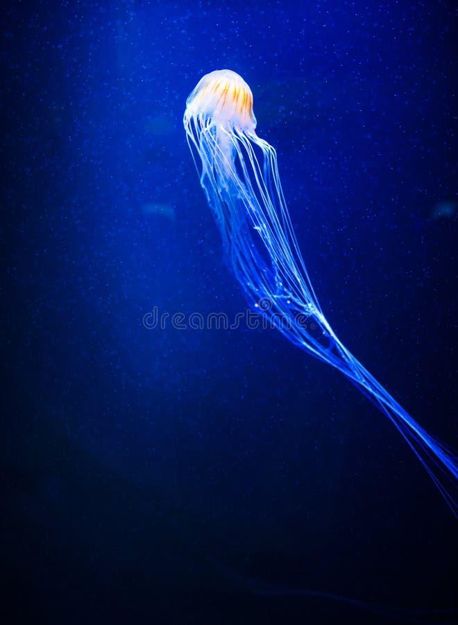 美丽的水母,在霓虹灯的水母与鱼 在海洋水母的水下的生活 扣人心弦和宇宙视域 库存图片