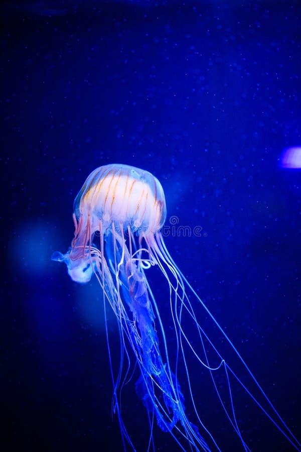 美丽的水母,在霓虹灯的水母与鱼 在海洋水母的水下的生活 扣人心弦和宇宙视域 免版税库存照片