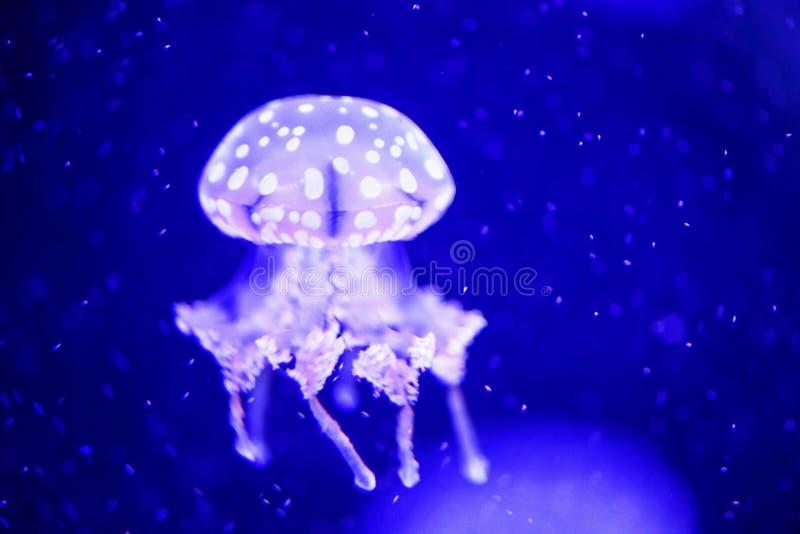 美丽的水母,在霓虹灯的水母与鱼 在海洋水母的水下的生活 扣人心弦和宇宙视域 免版税库存图片