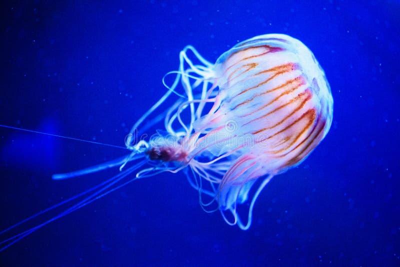 美丽的水母,在霓虹灯的水母与鱼 在海洋水母的水下的生活 扣人心弦和宇宙视域 库存照片