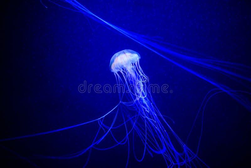 美丽的水母,在霓虹灯的水母与鱼 在海洋水母的水下的生活 扣人心弦和宇宙视域 图库摄影