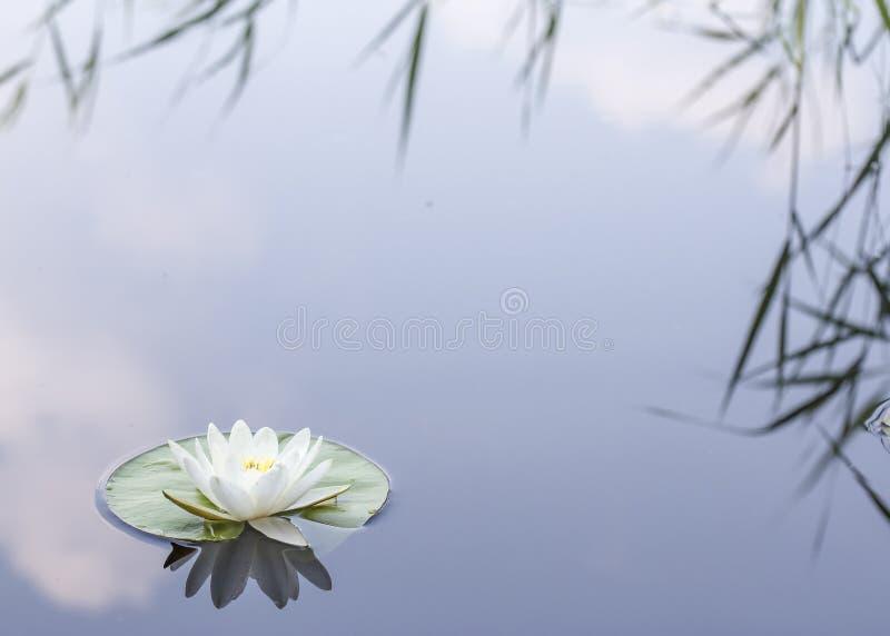 美丽的水生植物、浪端的白色泡沫百合在湖反映的星莲属晨曲与芦苇和云彩 库存图片