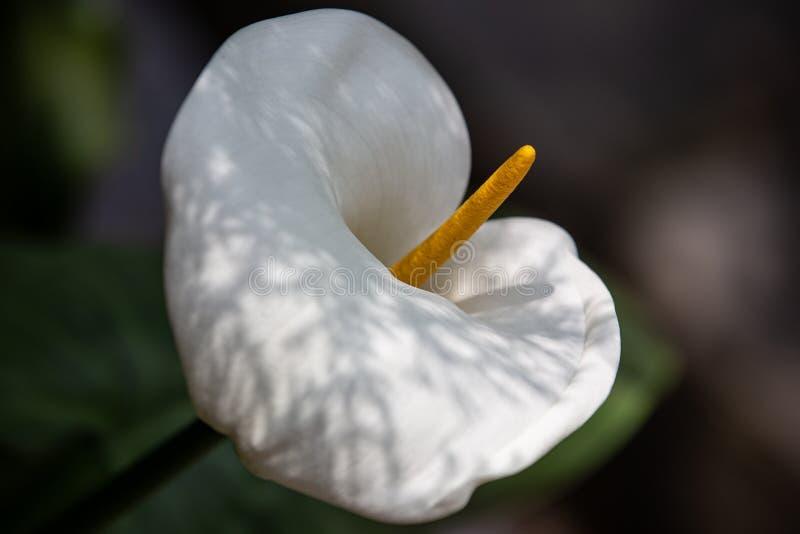 美丽的水芋百合花在庭院里在达兰萨拉 免版税库存图片