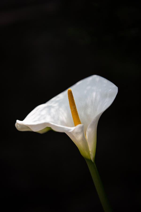 美丽的水芋百合花在庭院里在达兰萨拉 库存照片