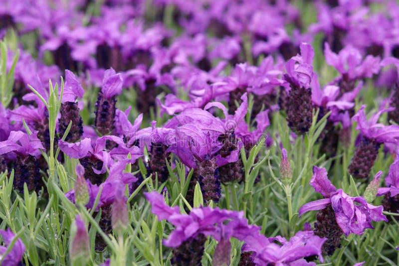 美丽的法国淡紫色或熏衣草属pedunculata或蝴蝶淡紫色花在夏天庭院里 库存图片