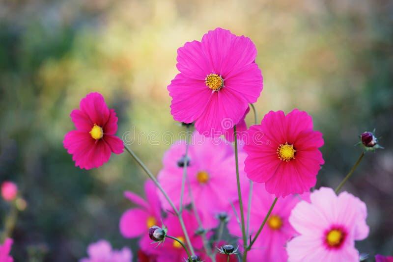美丽的波斯菊花在庭院里 - (选择聚焦) 免版税库存照片