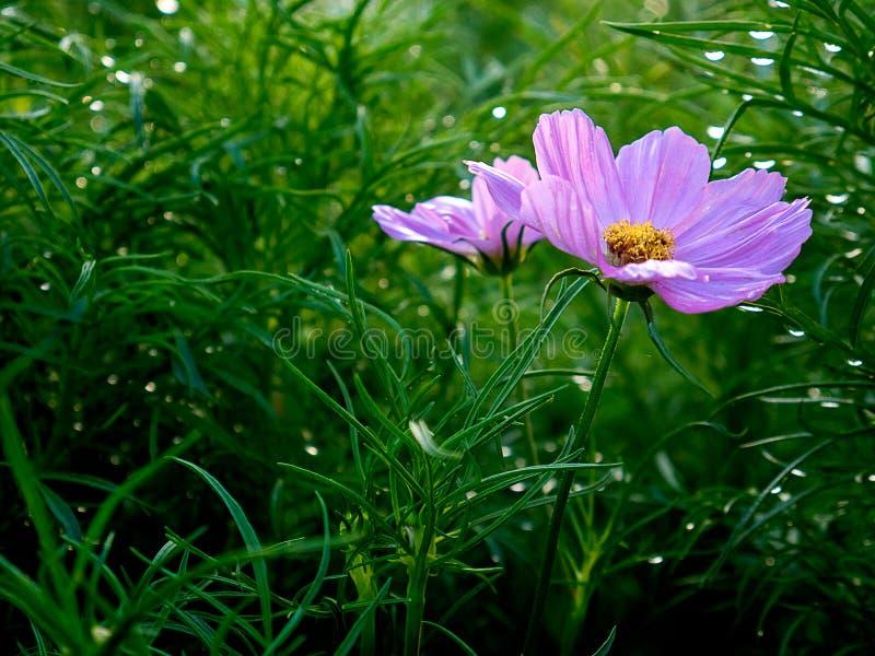 美丽的波斯菊花在草甸与露水早晨 免版税库存照片