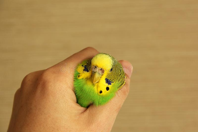 美丽的波浪鹦鹉在他的手上 鸟在手中 库存照片