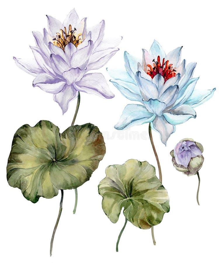 美丽的浅兰和紫色莲花 在词根、芽和叶子的花卉集合花 背景查出的白色 库存例证