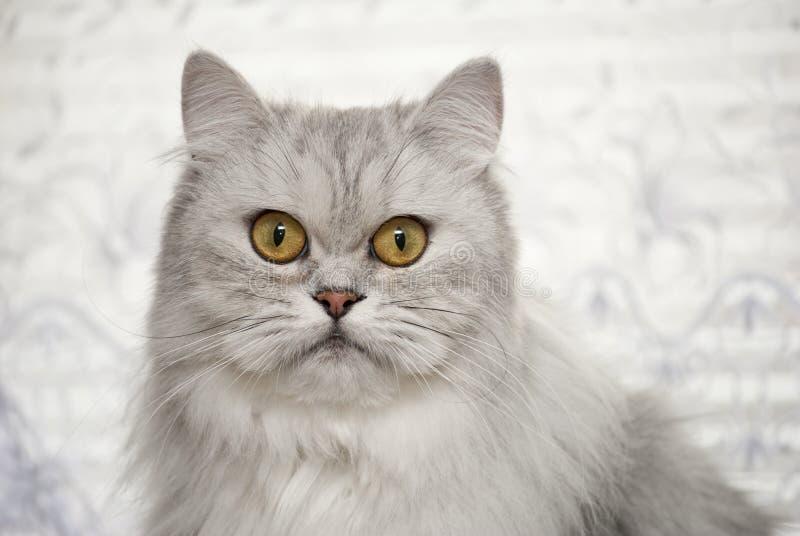 美丽的浅灰色的猫坐 图库摄影