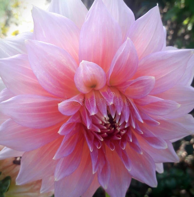 美丽的浅粉红色的花在我的庭院里 图库摄影