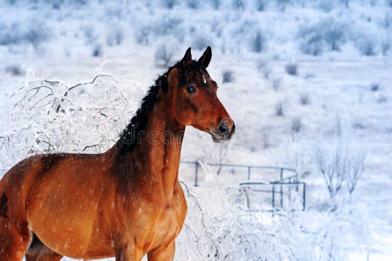 美丽的海湾马在不可思议的冬天森林里 库存照片