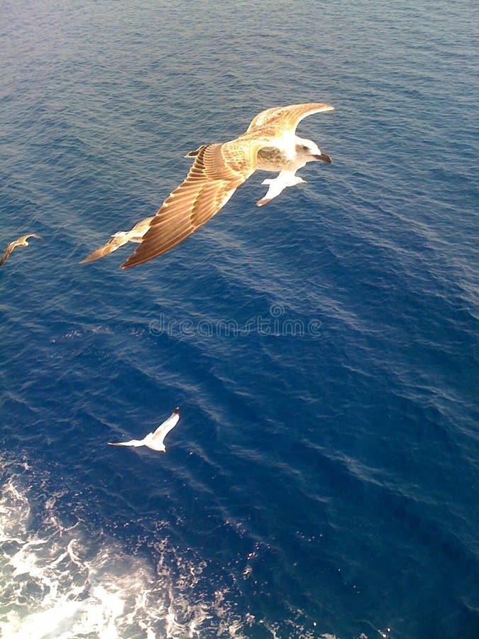 美丽的海鸥 免版税库存照片