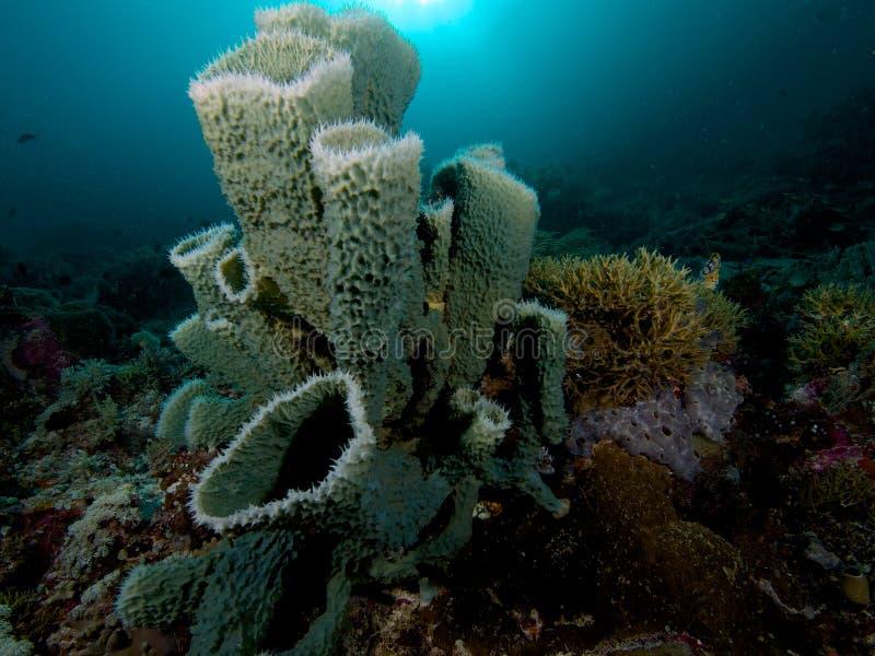 美丽的海绵在王侯Ampat,印度尼西亚礁石很多  库存图片