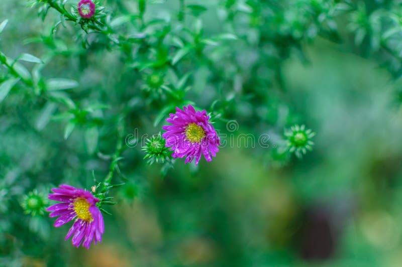 美丽的淡紫色桃红色菊花当背景图片 菊花墙纸,菊花 库存图片