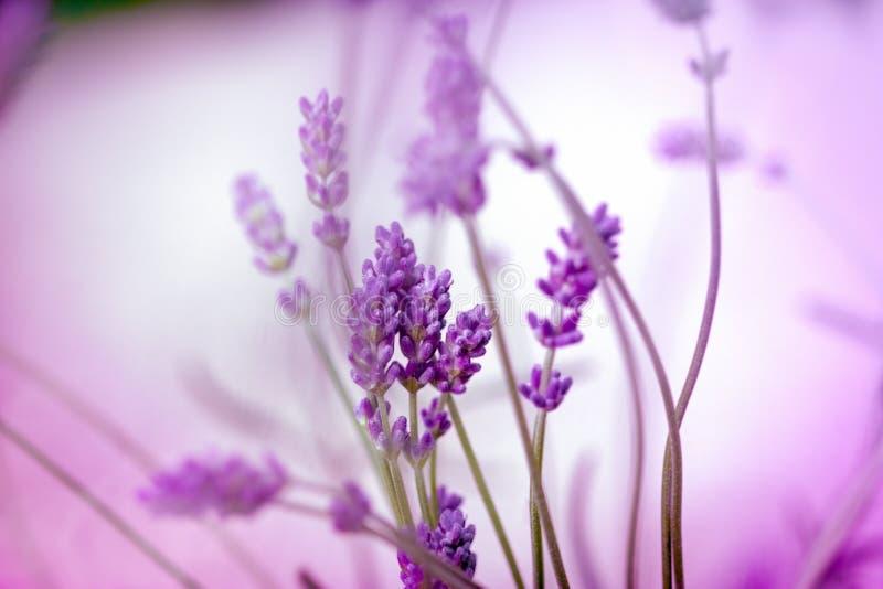 美丽的淡紫色花特写镜头花在花园里 免版税库存图片