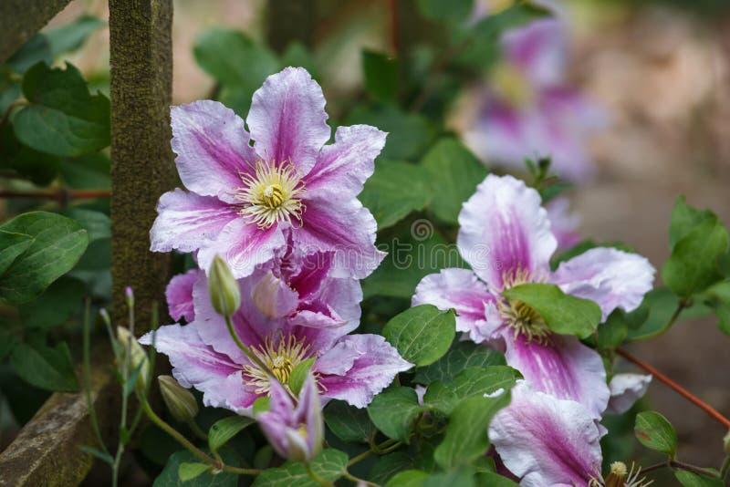 美丽的深桃红色,紫色花铁线莲属在庭院里 图库摄影