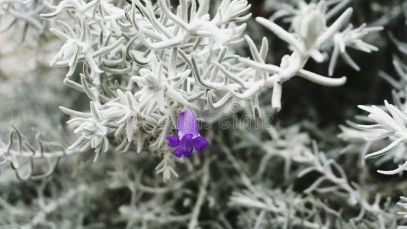 美丽的灌木,法语,意大利语,西班牙,顶面,被冠上的,狂放的淡紫色 库存照片