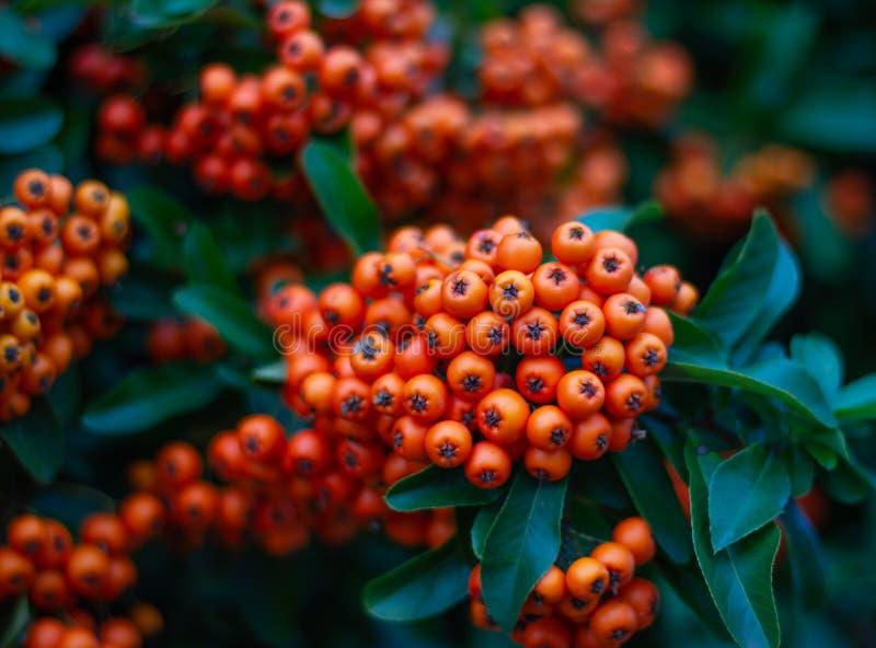 美丽的火棘灌木用明亮的橙色莓果 免版税库存照片