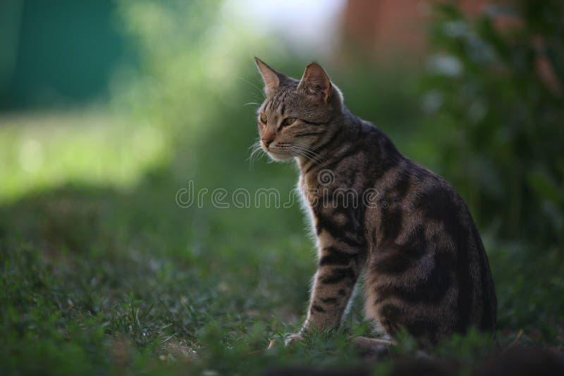 美丽的灰色猫喜欢老虎在日落在晚上 库存图片