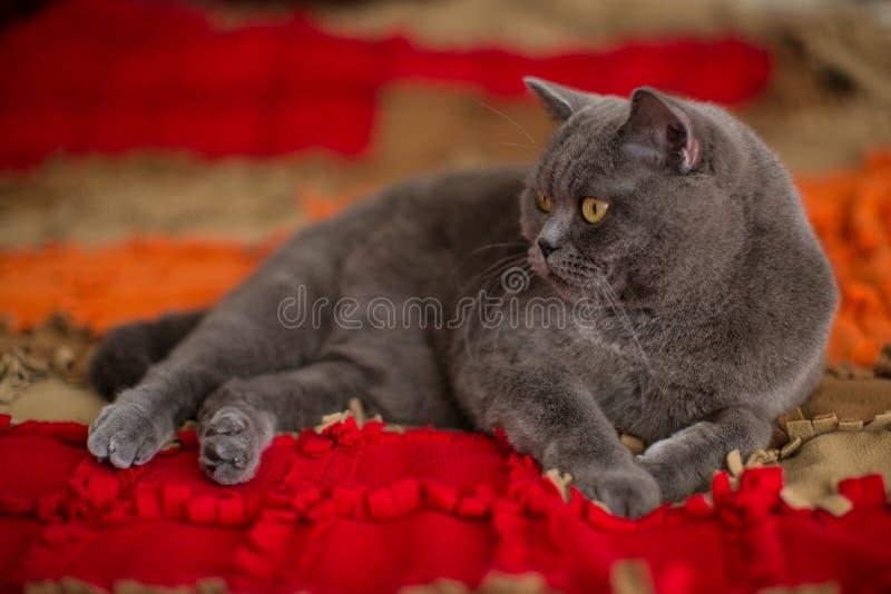 美丽的灰色英国shorthair猫 免版税图库摄影