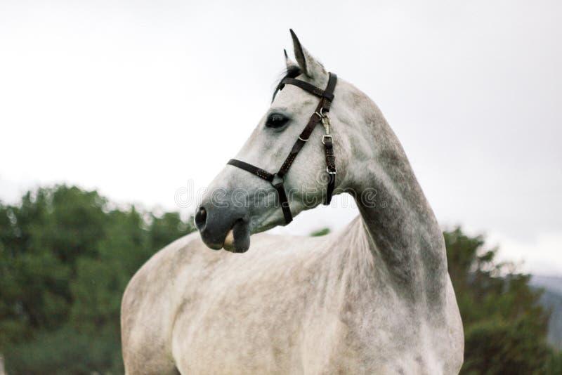 美丽的灰色马画象在自然背景的 免版税库存照片