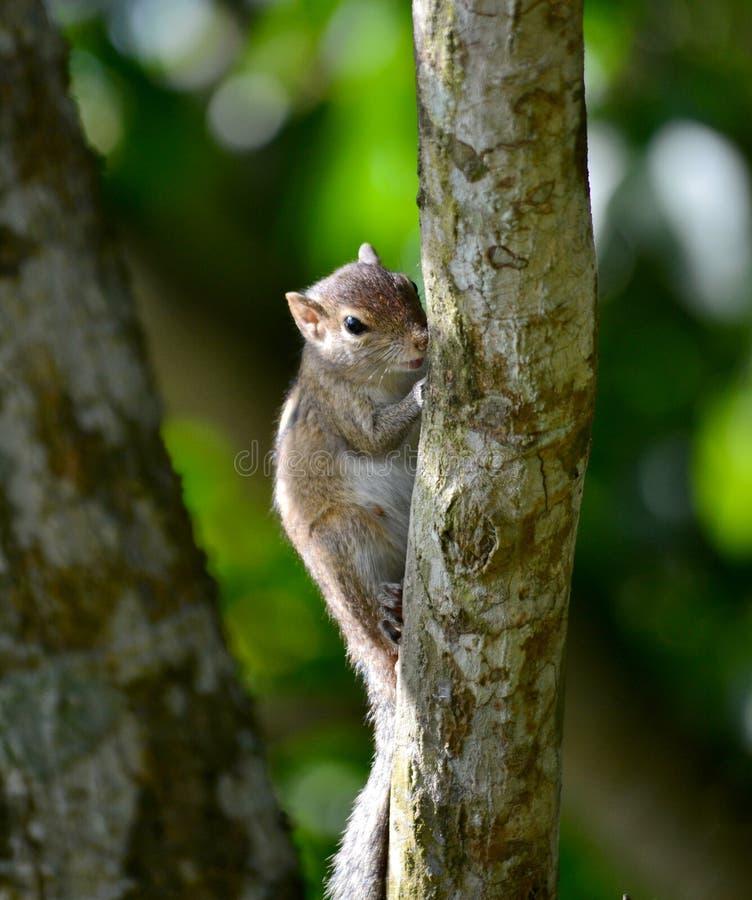 美丽的灰鼠在斯里兰卡 免版税库存照片