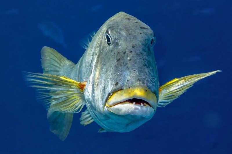 美丽的热带大珊瑚礁鱼 库存图片