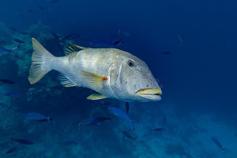 美丽的热带大珊瑚礁鱼 免版税库存照片