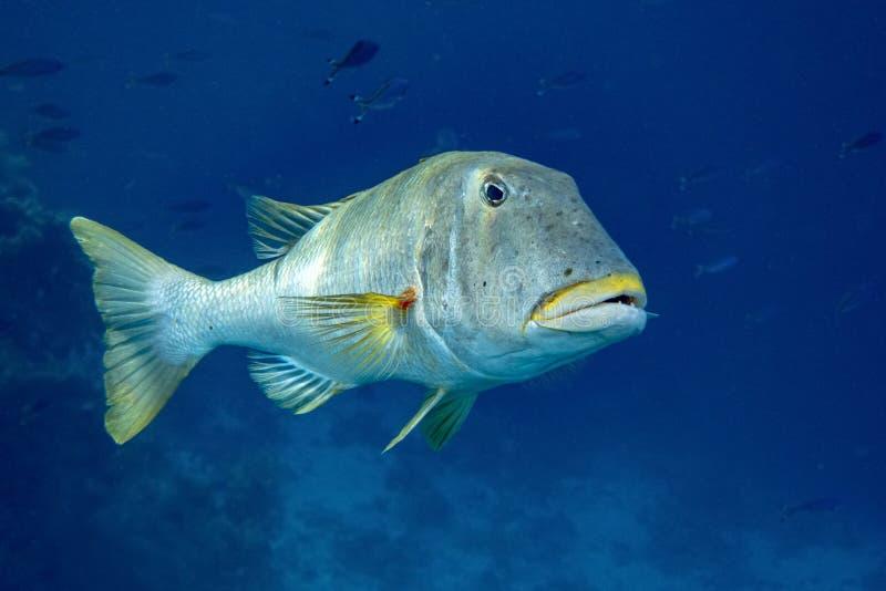 美丽的热带大珊瑚礁鱼 库存照片