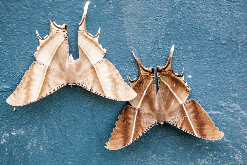美丽的热带Swallowtail飞蛾 库存图片
