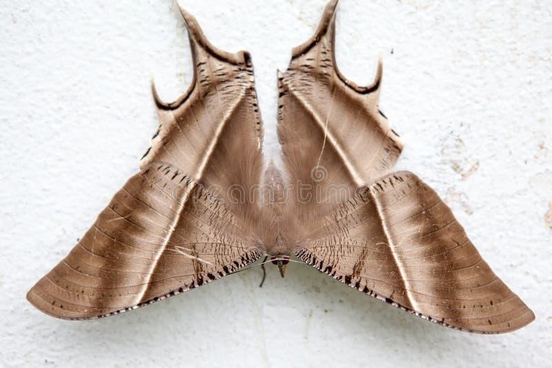 美丽的热带Swallowtail飞蛾 库存照片
