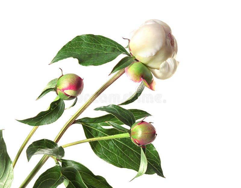 美丽的牡丹的芽在白色背景开花 免版税库存照片