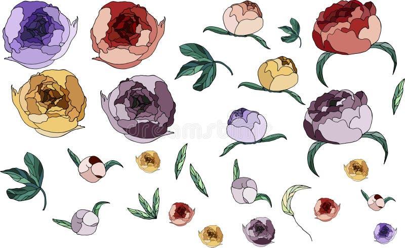 美丽的牡丹 在颜色的花 r 牡丹和叶子集合 库存照片