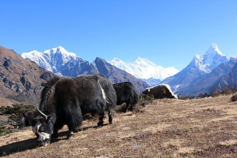 美丽的牦牛在作为登上阿马Dablam背景的喜马拉雅山 免版税图库摄影
