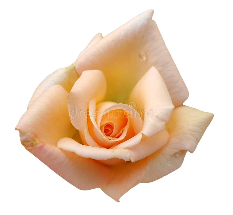 美丽的特写镜头开花桔子在白色上升了隔绝 免版税库存照片