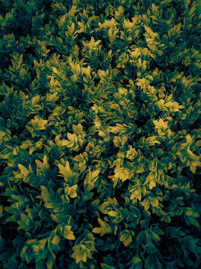 美丽的特写镜头树叶子或在庭院把例证摘要黄色和绿色留在园林植物 免版税图库摄影