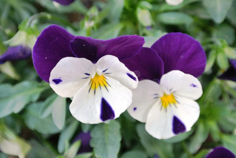 美丽的狂放的紫色花被采取特写镜头 免版税库存照片