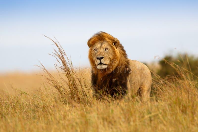 美丽的狮子凯撒 库存照片