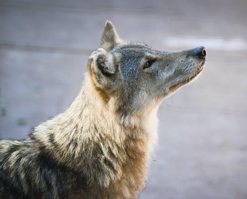 美丽的狼画象 免版税库存图片