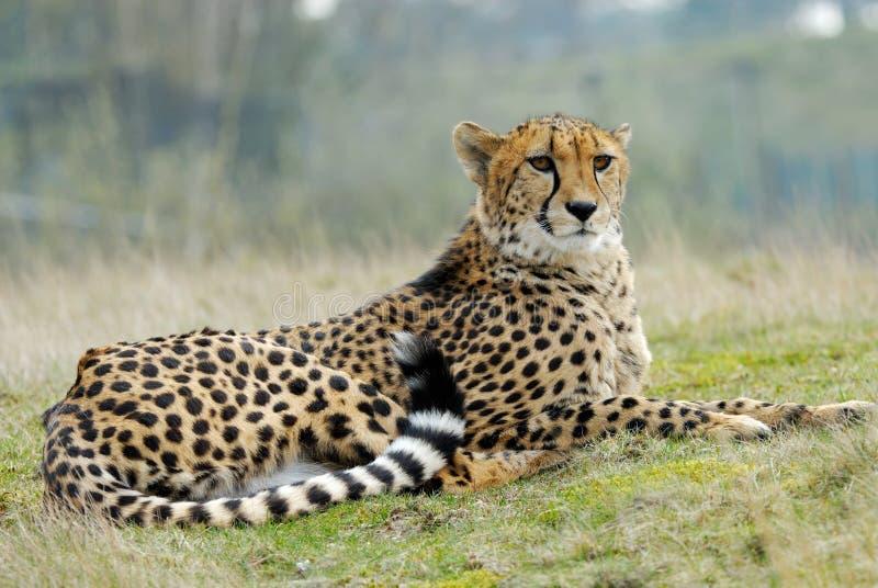 美丽的猎豹 免版税库存照片