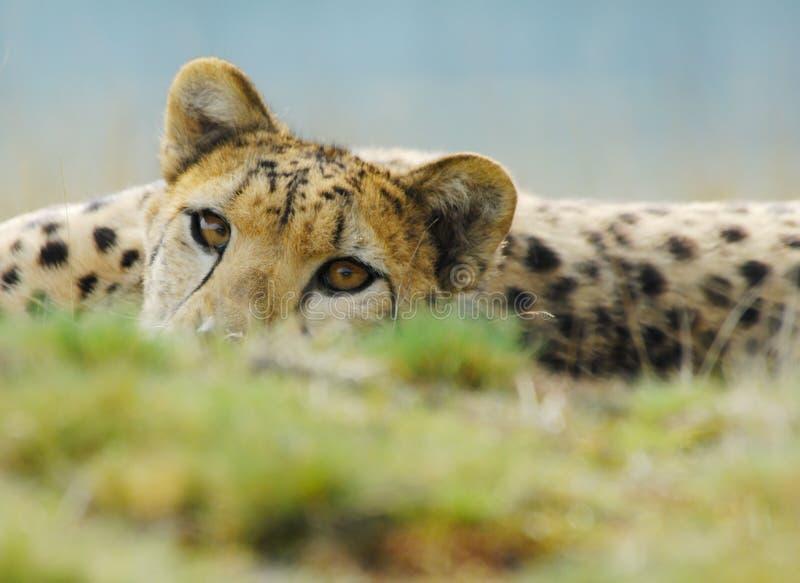 美丽的猎豹 库存图片