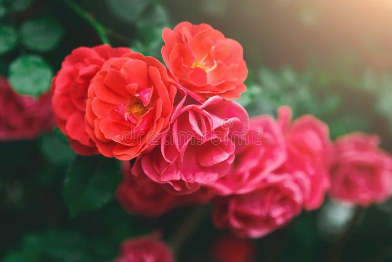 美丽的猩红色英国兰开斯特家族族徽特写镜头 背景花光playnig 免版税图库摄影