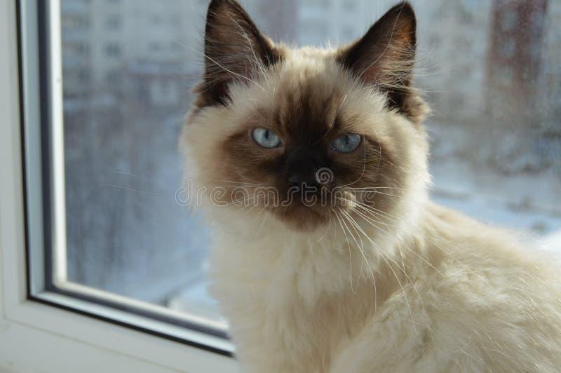 美丽的猫坐与蓝眼睛的一个窗口 库存图片