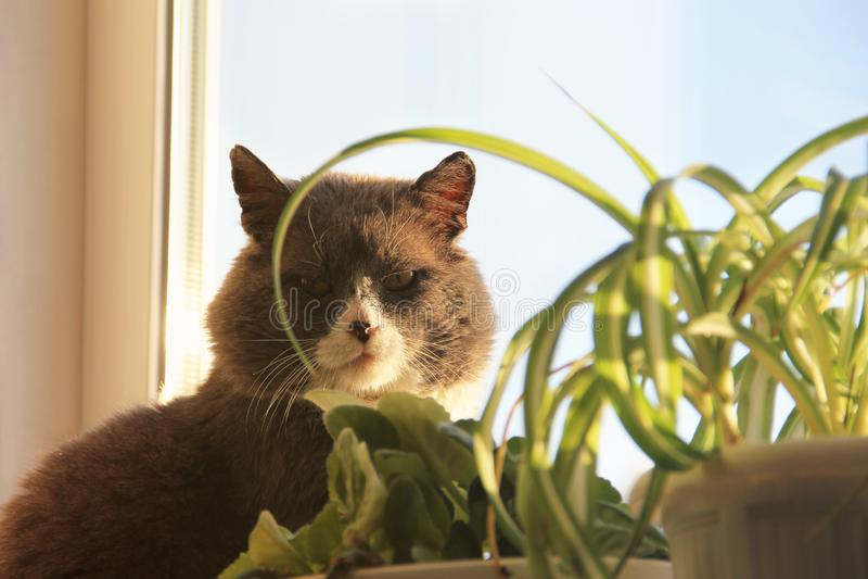 美丽的猫坐窗口 猫看照相机 免版税图库摄影