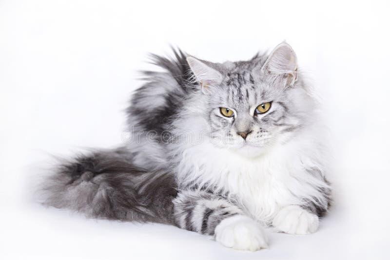 美丽的猫浣熊缅因 免版税图库摄影