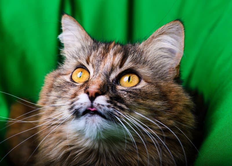 美丽的猫画象  免版税库存照片