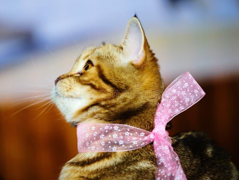 美丽的猫画象  图库摄影