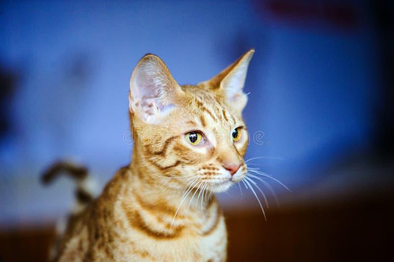 美丽的猫画象  免版税库存图片